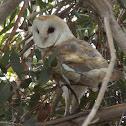 Barn Owl  (male)