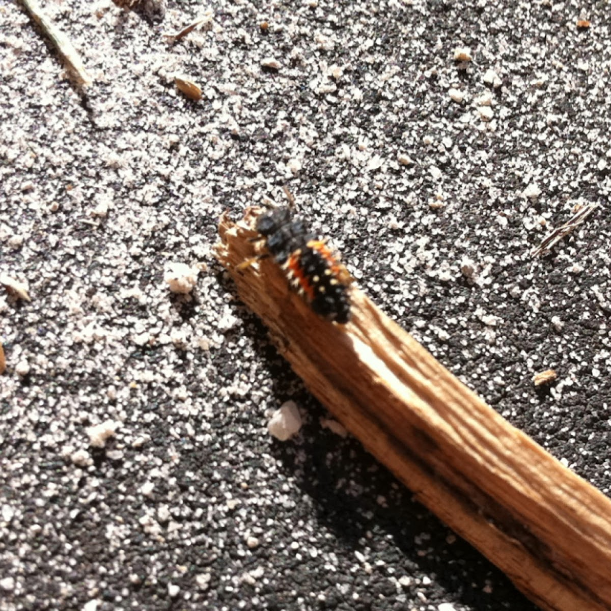Multicolored Asian Lady Beetle Larva