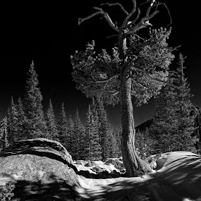 Limber Pine's #2 by Johnny Gomez - Landscapes Mountains & Hills (  )