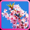 Best Sakura Cherry Blossoms icon