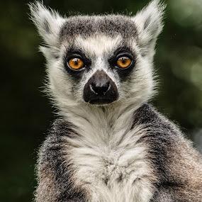 Lemur by Garry Chisholm - Animals Other Mammals ( garry chisholm, nature, wildlife, primate, lemur,  )