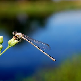 Dragonfly on the water by Nikki Kean - Animals Insects & Spiders ( water, nature, wings, white, dragonfly )