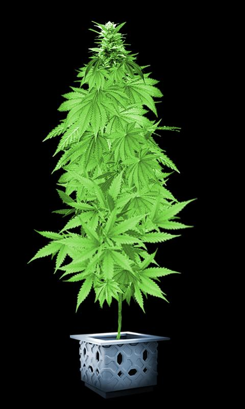 weed plants wallpaper images pictures becuo