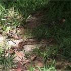 Eastern Hog-nosed Snake