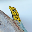 Yellow-headed Dwarf Gecko
