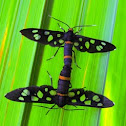 Nine spotted moth