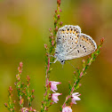 plebejus (blue) butterfly