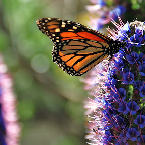Monarch Butterfly on Echium spire. by John Canning - Animals Insects & Spiders ( animal, butterfy )