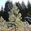 Willamette Valley ponderosa pine