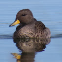 Yellow-Billed Teals