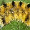 Tiger Moth Caterpillar ( scarf )