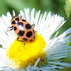 Spotted Lady Beetle