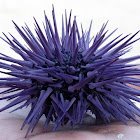 Purple Sea Urchin