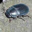 Bluish Darkling beetle