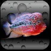 Aquarium Flowerhorn LWP ★