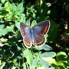 Icaro, Common Blue