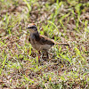 Red-capped lark