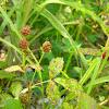 Wild Red Rasberry