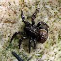 Muddy Ground spider