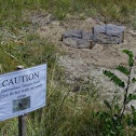Diamondback Terrapin nests