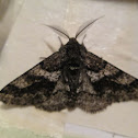 Woolly Gray Moth