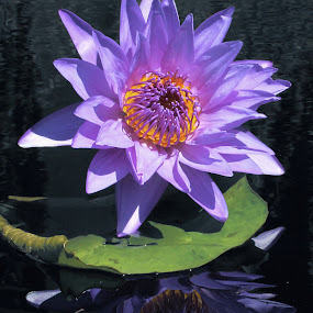 Shining Star by Sandra Blair - Flowers Flowers in the Wild ( water, pad, nature, lily, lily pads, water garden, flower,  )