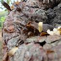 Abeja Melipona (Melipona Bee)