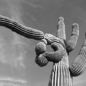 Saguaro Madness by Alan Cline - Black & White Flowers & Plants ( abstract, plant, succulent, desert, cactus )