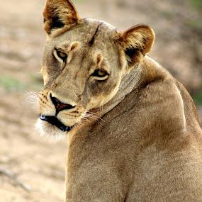 Lion (Lioness) by Arun Prasanna - Animals Lions, Tigers & Big Cats ( #lion #lioness #photo frame #wild animal #africa )