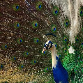 Peafowl In BlooM. by Arsalan Sandhila - Animals Birds (  )