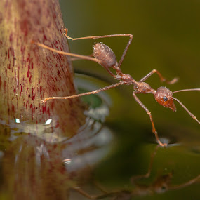 ants by Jimmy Fang - Animals Insects & Spiders ( animals, nature, wildlife, ants, insects )