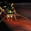 Florida Metallic Tiger Beetle
