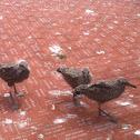 Juvenile Gulls