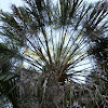 Cabbage-Tree Palm