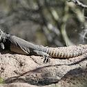Sonoran Spiny-tailed Iguana