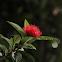 Red Penda