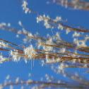 Broom-sedge
