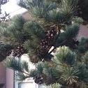 Japanese White Pine, 섬잣나무, 姫小松