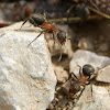 Red Meadow Ant