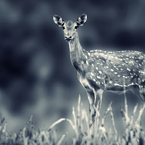spotted deer.jpg