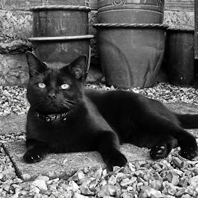 Oscar by Wendy Clee - Animals - Cats Portraits ( cat, black & white, pets, nikon d300,  )