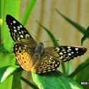 Hackberry Butterfly