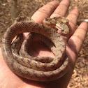 Beddome's cat snake