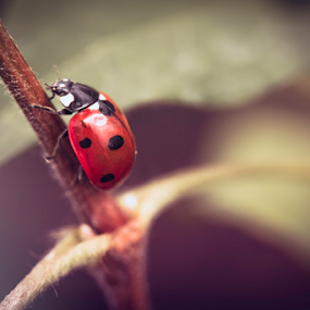 Ladybug on Flower by Philip Cormack - Animals Insects & Spiders