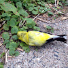 American goldfinch (male; dead)
