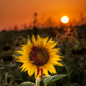 Blood Trail by Barry Blaisdell - Flowers Flowers in the Wild ( scary, creepy, sunset, sunflower, blood, leaves, sun, , golden hour, sunrise )