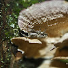 Turkey Tail Fungus with Jumping Spider