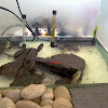 Turtle Army (Asian Leaf Turtle, SE Box Turtle, & RES)