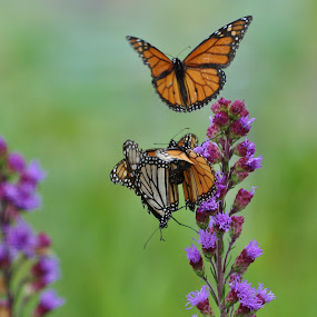 Mating Monarchs by Viana Santoni-Oliver - Animals Insects & Spiders ( butterfly, blurry background, purple, bugs, nature, monarch, reproducing, four, green., mating, flower, mutliple )