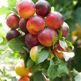 plum branch by Ahmet Güler - Food & Drink Fruits & Vegetables ( tasty, sweet, red, black locust, natural, plum, green )